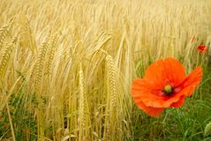 Poppy and Barley. Barley bowing to the brightness of the poppy Royalty Free Stock Images