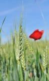 Poppy and barley Royalty Free Stock Image