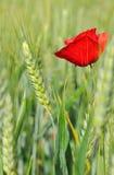 Poppy and barley Royalty Free Stock Photography