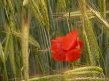 Poppy in a barley field. Red poppy in a summer barley field stock photos