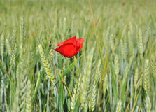 Poppy and barley Stock Images