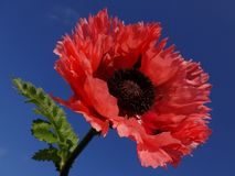 Poppy, beautiful Poppy in beautiful colors. Royalty Free Stock Images