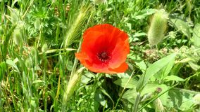 Poppy,a beautiful poppy in a field. Papaveraceae with bright red flower frequent in cereal in summer. olsa colled poppy stock images