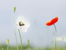 Poppy. Beautiful Poppy, first spring wild flower Royalty Free Stock Images