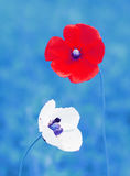 Poppy. Beautiful Poppy, first spring wild flower Royalty Free Stock Photography