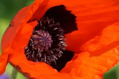 Poppy Royalty Free Stock Photos