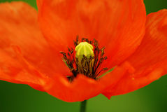 Poppy. Beautiful red poppy on the green background Royalty Free Stock Image