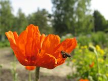 Poppy and the bee. The close-up of poppy flower pollinated by bee Stock Image