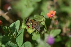 Poppy Bee anaranjada Imagen de archivo