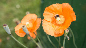 Poppy Bee. A bee busies itself on the last of the summer poppies Stock Image