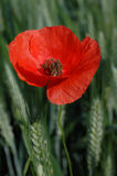Poppy with bee Stock Photography