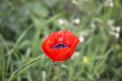 Poppy with a bee. Flower of wild poppy on which the bee has sat down Stock Photo