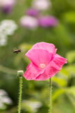 Poppy and bee Stock Photo