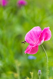 Poppy and bee Royalty Free Stock Images