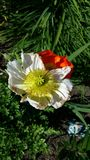 Poppy bicolor. Beautiful poppy in the garden Royalty Free Stock Photography