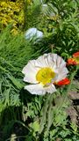 Poppy bicolor. Beautiful poppy in the garden Stock Photo