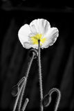Poppy in Black and White Royalty Free Stock Images