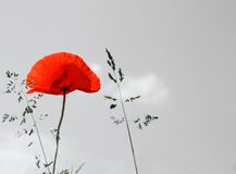 Poppy and blade of grass Stock Images