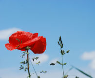 Poppy and blade of grass Stock Image