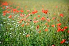 poppy, blisko pola Fotografia Royalty Free