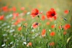 poppy, blisko pola Zdjęcie Royalty Free