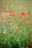 poppy, blisko pola Zdjęcie Stock