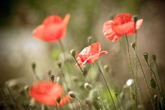 The poppy in bloom Royalty Free Stock Photos