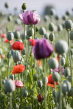 Poppy bloom. Red poppy bloom field with white and violet flowers Royalty Free Stock Photo
