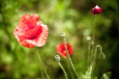The poppy in bloom #2 Royalty Free Stock Photo