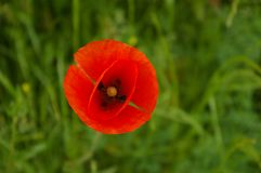 Poppy bloom Stock Photos