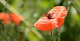 Poppy bloom Royalty Free Stock Photography