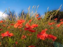 Poppy Bloom Symphony im Rot Lizenzfreies Stockfoto