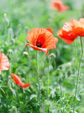 Poppy blooming. Close up the Poppy blooming Stock Photo