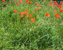 Poppy blooming Stock Images