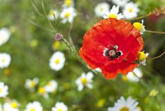 Poppy blossom. A red poppy (Papaver rhoeas) blossom on a meadow Royalty Free Stock Image