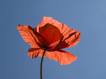 Poppy blossom Stock Images