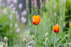 Poppy blossom in a wild natural meadow. Beautiful poppy flower. poppy bloom in a wild natural meadow stock photos