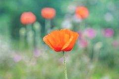 Poppy blossom.  poppy bloom in a wild natural meadow. Beautiful poppy flower. poppy bloom in a wild natural meadow royalty free stock images