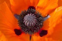Poppy blossom detail. Orange Poppy blossom detail with petals Stock Photo