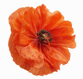 Poppy blossom isolated Stock Photography