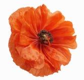 Poppy blossom isolated Stock Photography