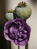 Poppy Blossom och kärnar ur huvudet Royaltyfri Foto