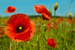 Poppy blossom Stock Photography