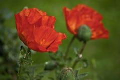 Poppy blossoms Stock Photo