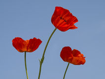 Poppy blossoms Royalty Free Stock Photography