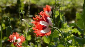 Poppy blossoms and summer wind stock video