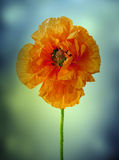 Poppy on blue Stock Image