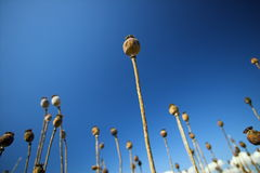 Poppy and blue sky. Field of poppy and blue sky. Czech Republic Royalty Free Stock Image