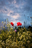 Poppy and blue sky. Photoof one red poppy and blue sky Royalty Free Stock Photo
