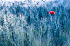 Poppy. On blue summer wheatfield Stock Images